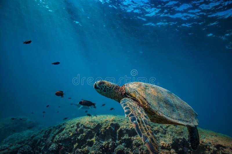 Большая черепаха в съемке кораллового рифа подводной стоковые фото