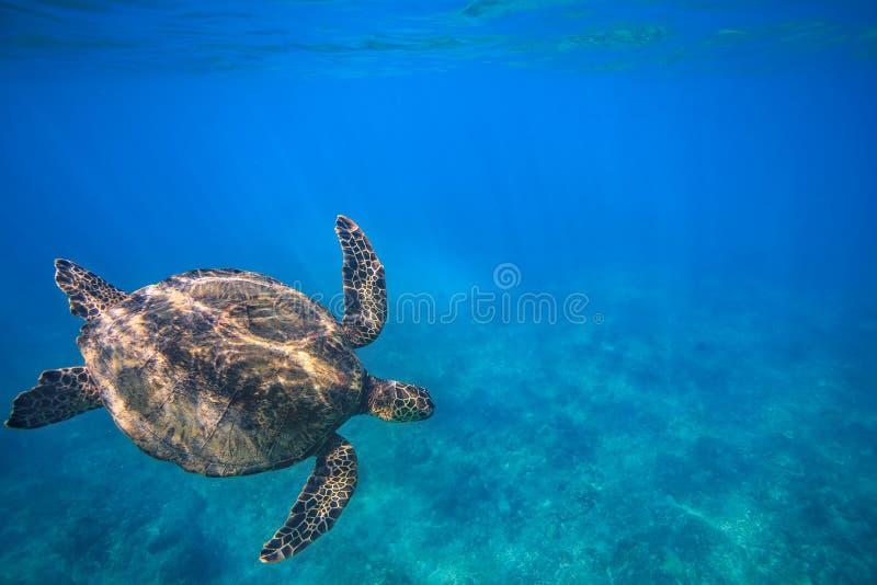Большая черепаха в съемке кораллового рифа подводной стоковая фотография