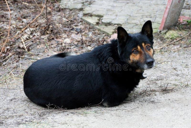 Большая черная собака лежит снаружи в дворе стоковое фото