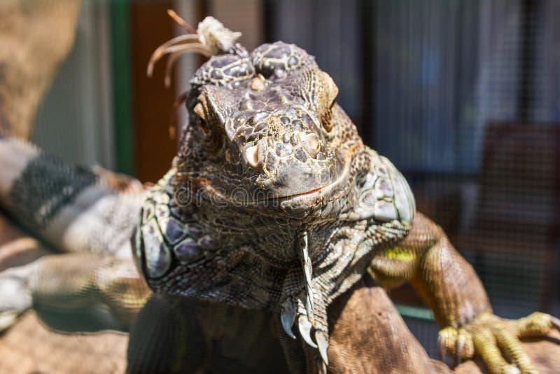 Большая ящерица игуаны стоковые изображения rf