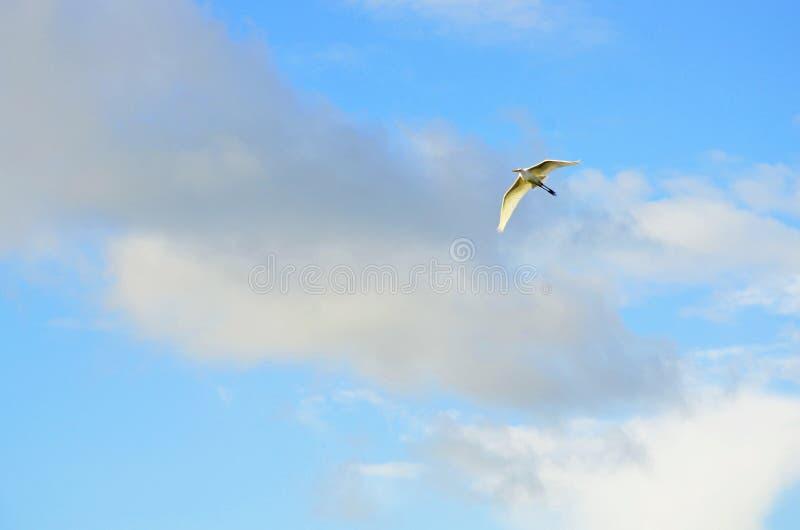 Большее белое летание egret в небе исчерченном облаком стоковые фотографии rf