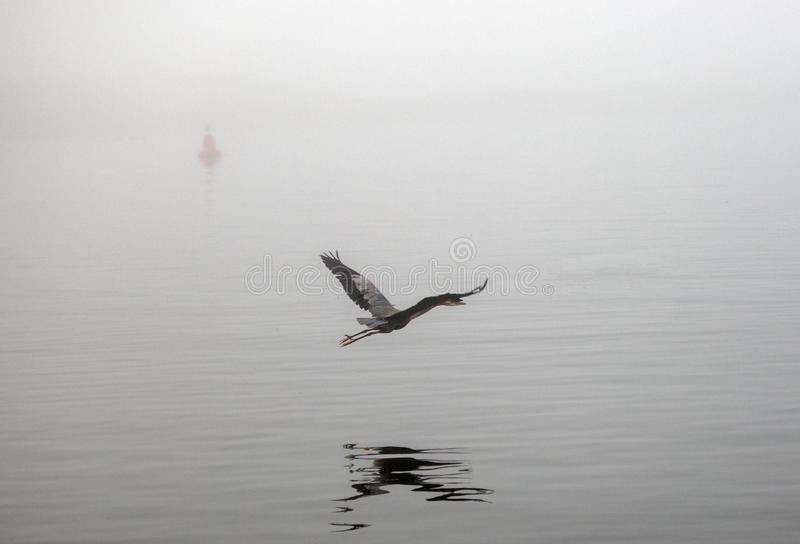 Большее летание голубой цапли на туманном утре в береговой линии США Калифорния залива Morro центральной стоковое фото