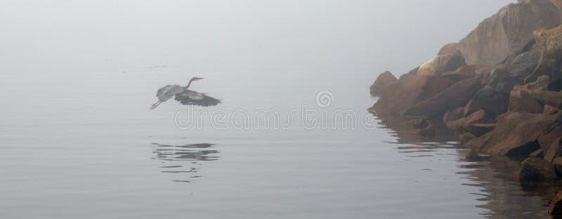 Большее летание голубой цапли на туманном утре в береговой линии США Калифорния залива Morro центральной стоковое изображение rf