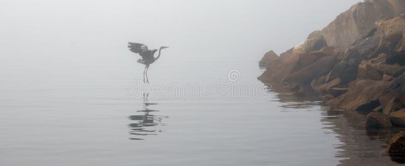 Большее летание голубой цапли на туманном утре в береговой линии США Калифорния залива Morro центральной стоковая фотография