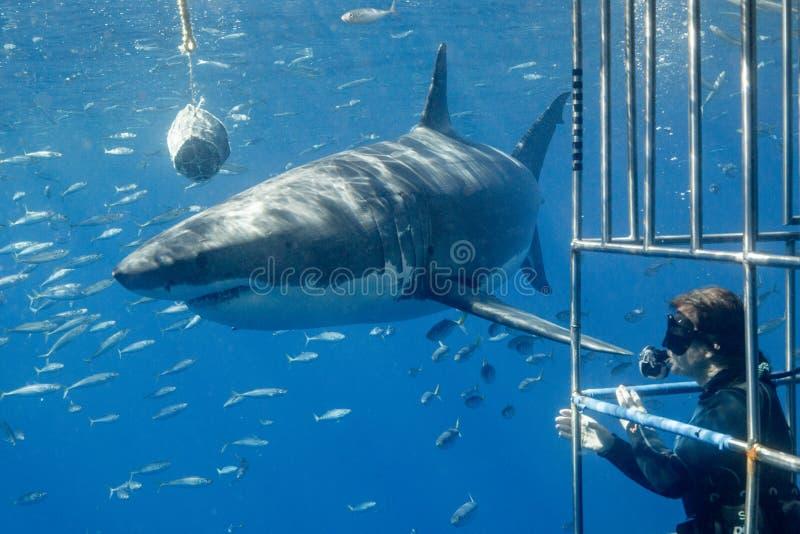 Большее подныривание белой акулы в Мексике стоковое фото