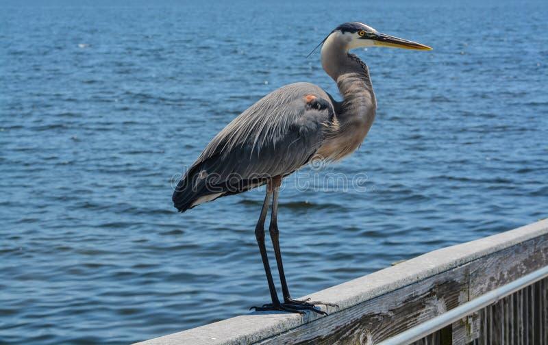 Большее положение голубой цапли на перилах на парке города ветерка залива в Santa Rosa County Флориде, Мексиканском заливе, США стоковое изображение