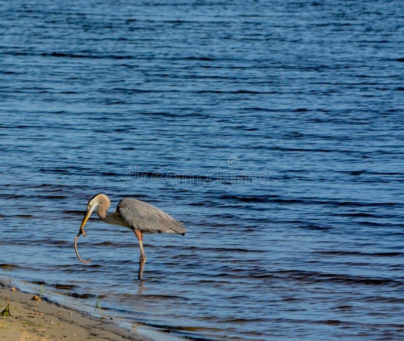 Большее убийство голубой цапли и еда змейки горжетки На озере Okeechobee, Okeechobee County, Okeechobee Флорида, США стоковое фото rf