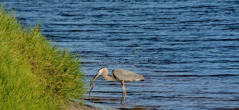 Большее убийство голубой цапли и еда змейки горжетки На озере Okeechobee, Okeechobee County, Okeechobee Флорида, США стоковая фотография