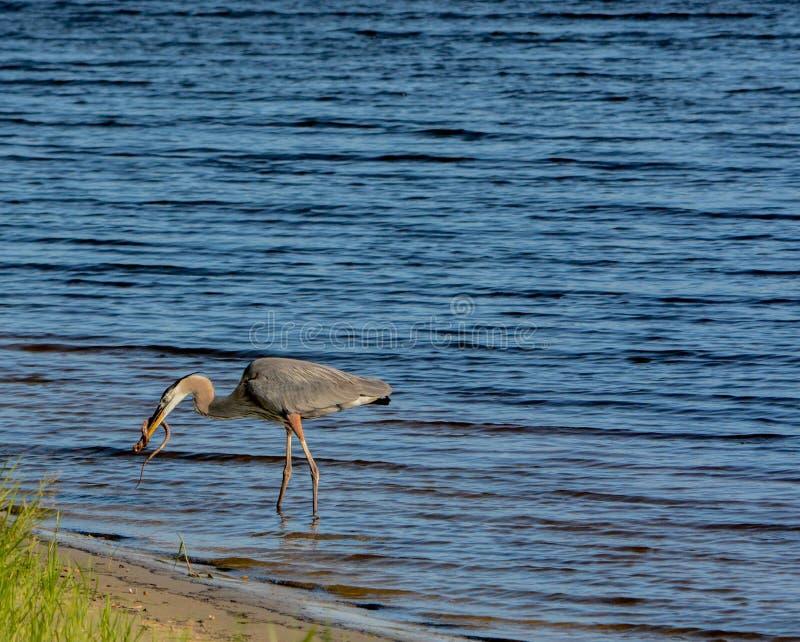 Большее убийство голубой цапли и еда змейки горжетки На озере Okeechobee, Okeechobee County, Okeechobee Флорида, США стоковые изображения