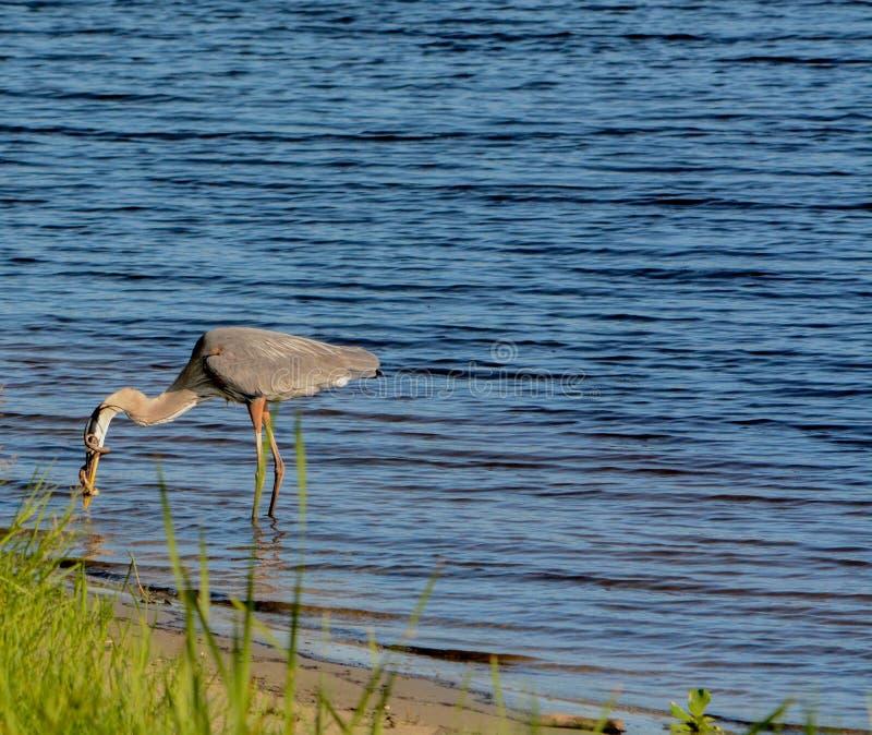 Большее убийство голубой цапли и еда змейки горжетки На озере Okeechobee, Okeechobee County, Okeechobee Флорида, США стоковые фотографии rf