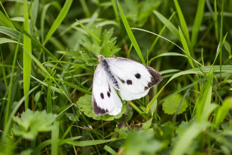 Большие бабочка белой капусты или brassicae Pieris стоковое изображение rf