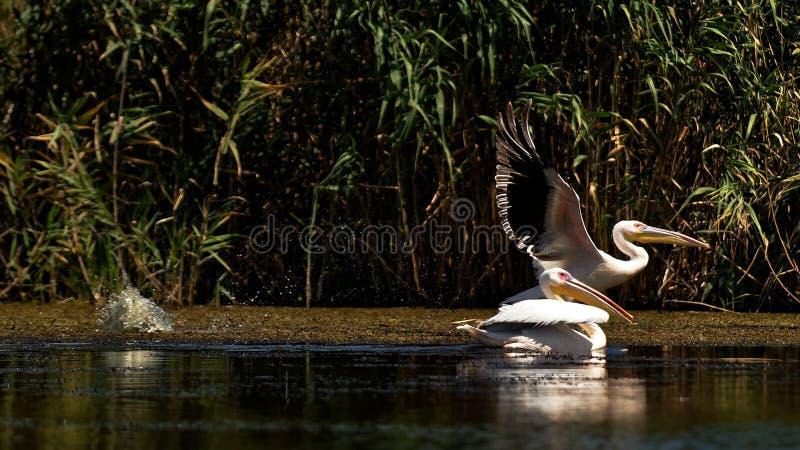Большие белые пеликаны на перепаде Дуная стоковая фотография