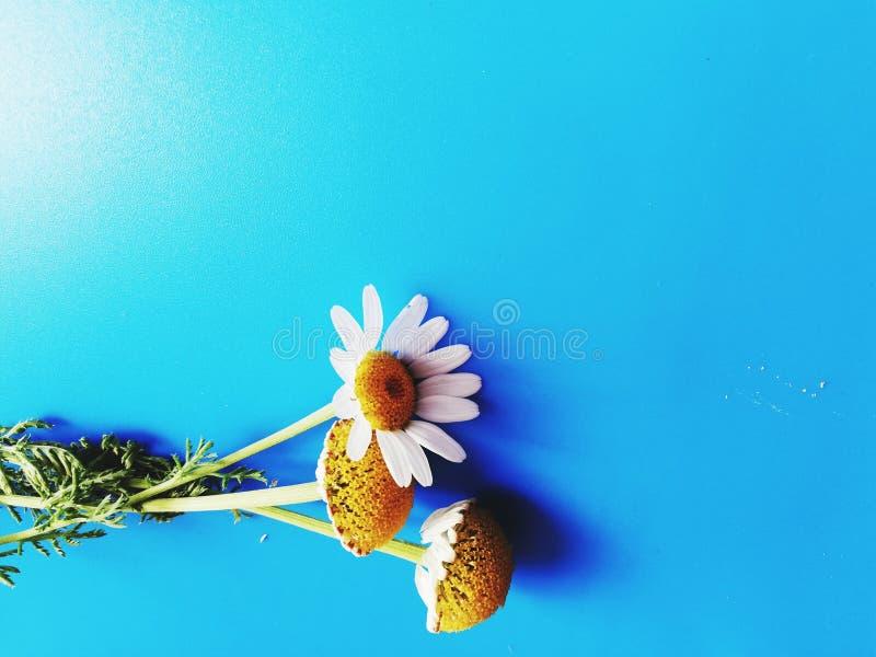 Большие белые цветки с зелеными лист изолированными на голубой предпосылке, фотографией черенок и стоцвета студии, красивым диким стоковые изображения rf