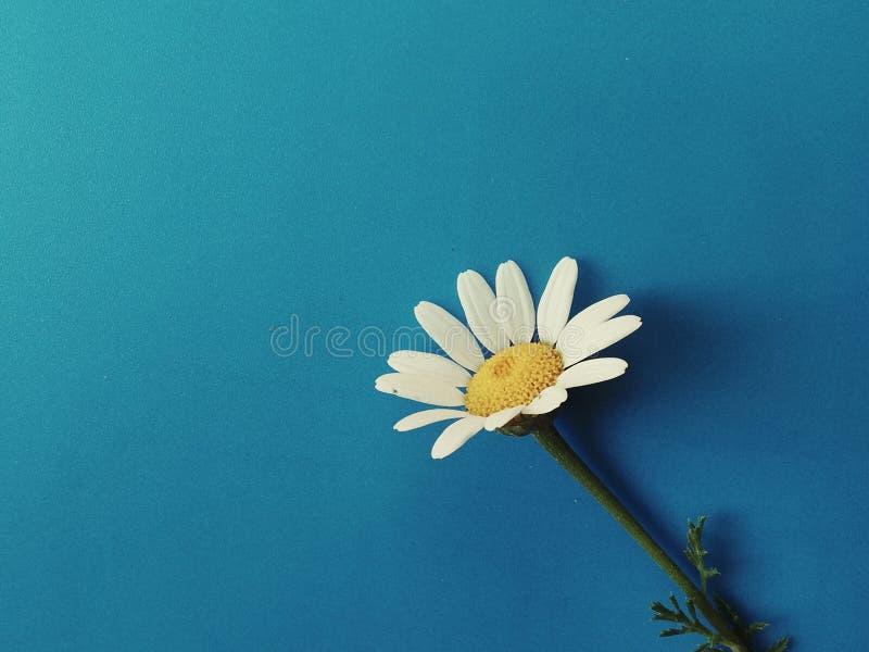 Большие белые цветки с зелеными лист изолированными на голубой предпосылке, фотографией черенок и стоцвета студии, красивым диким стоковое фото