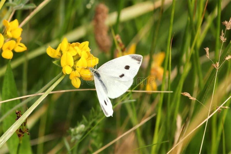 Большие белые brassicae Pieris бабочки стоковые фотографии rf