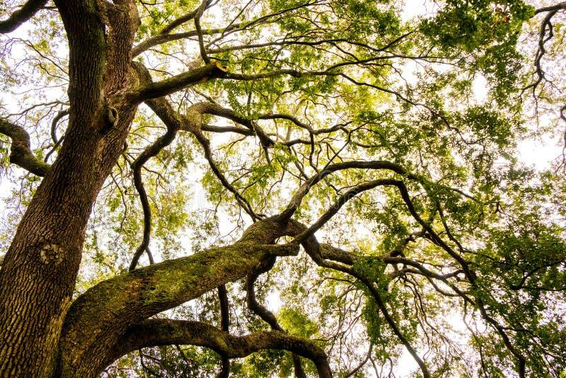 Большие ветви дуба увиденные снизу в пасмурном дне в Чарлстоне Южной Каролине стоковые фото