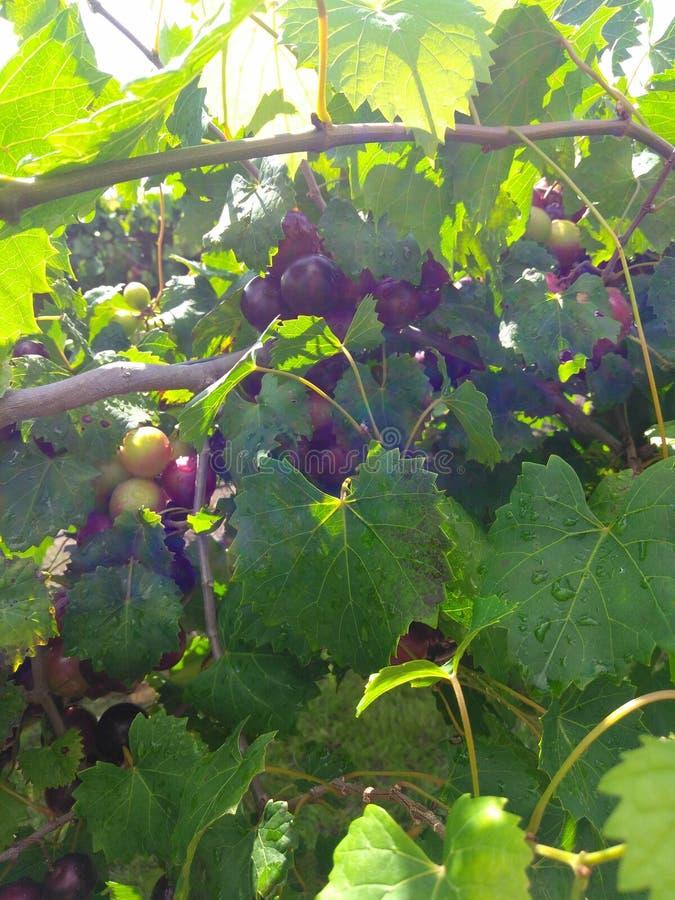 Большие виноградины стоковая фотография rf