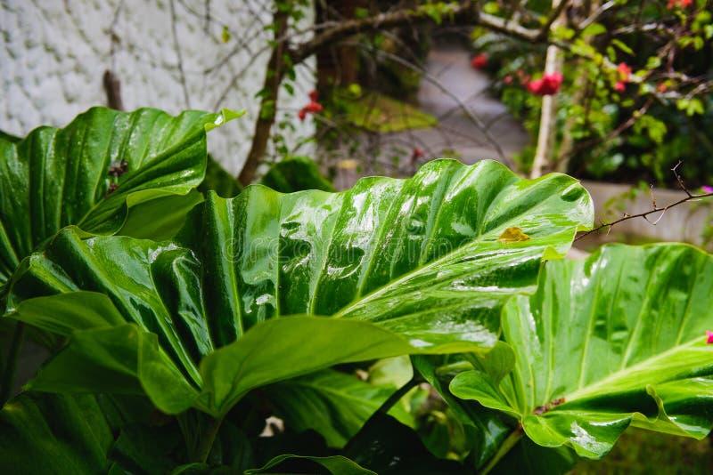 Большие зеленые лист на тропическом конце острова вверх стоковая фотография rf