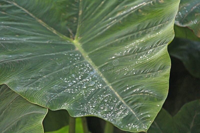 Большие зеленые падения лист и воды на больших лист в парке Ботанический сад Taormina Остров Сицилии, Италии стоковое фото