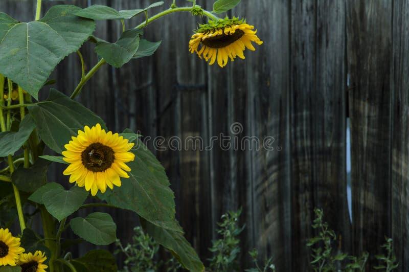 Большие красивые солнцецветы на предпосылке старой деревянной загородки стоковые изображения rf
