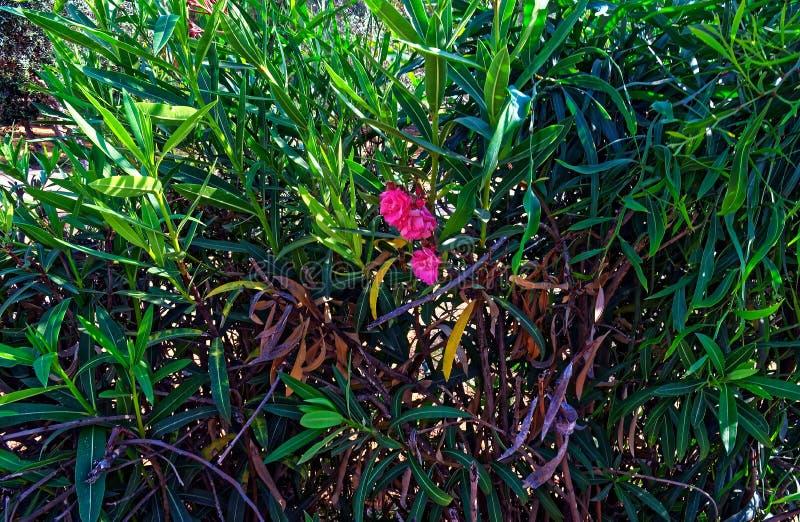 Большие большие кусты с малым розовым цветком стоковое изображение