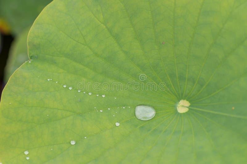 Большие лист и меньшее падение воды стоковая фотография rf