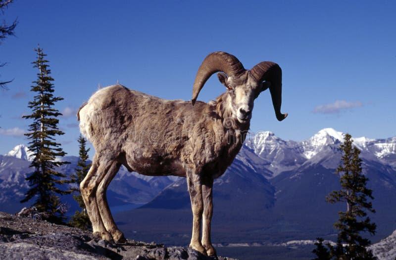 большие овцы мужчины рожочка стоковое фото