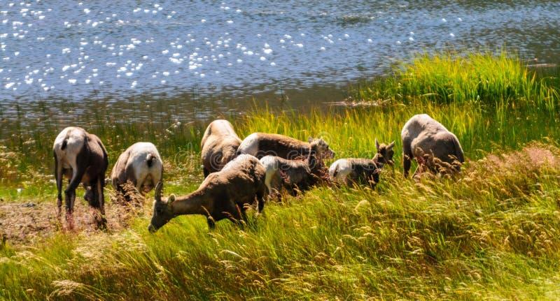 Большие овцы рожка в Колорадо стоковая фотография