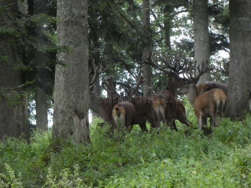 Большие олени в лесе с большим antler стоковое изображение