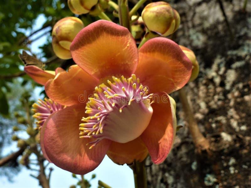 Большие оранжевые цветки и бутоны капка на дереве стоковая фотография
