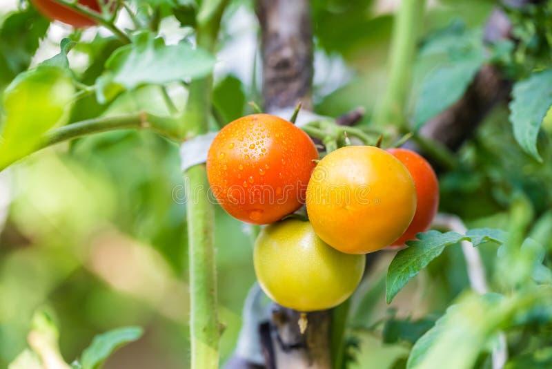 Большие органические зрелые красные, зеленые и желтые томаты стоковые изображения