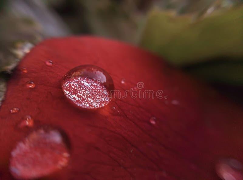 Большие падения росы на petal_macro красной розы стоковое фото