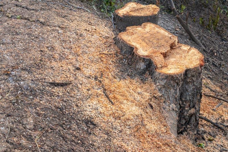Большие пни и опилк на том основании стоковое изображение