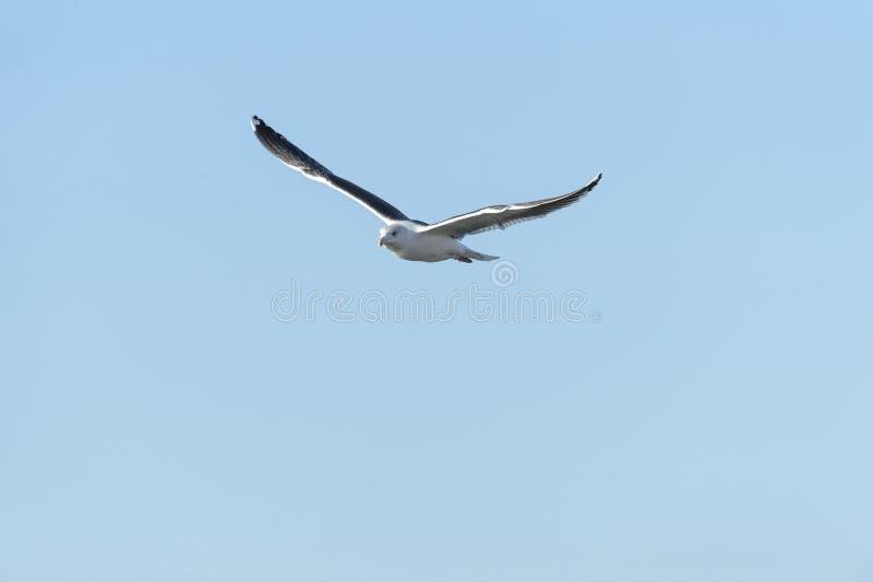 Большие поддерживаемые Черно крылья чайки высокие стоковая фотография rf