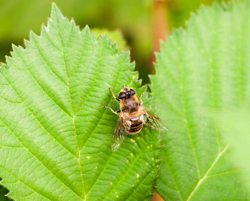 Большие подпоясанные желтые и черные завишут муха на зеленых лист Volucella z стоковое изображение