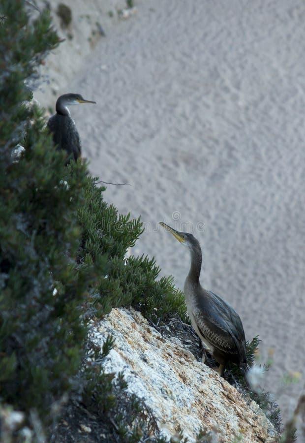 Большие птицы подобные бакланам бакланов сидя на прибрежных утесах стоковая фотография