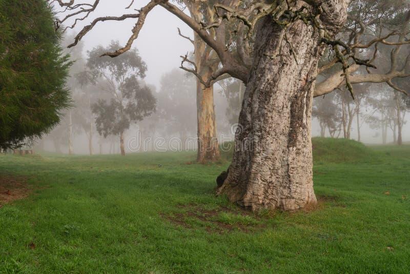 Большие старые деревья в paddock на туманном утре стоковые фото