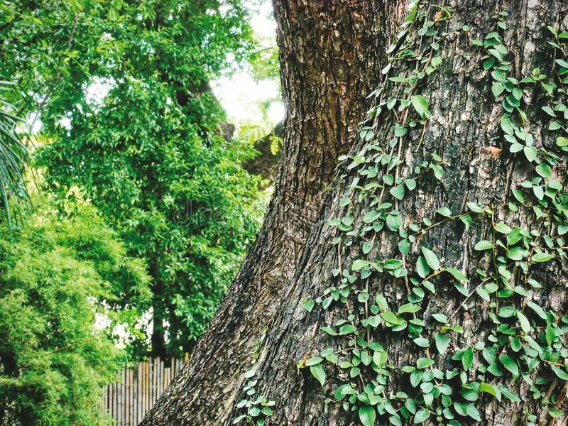 Большие стволы дерева с взбираясь заводами плюща стоковое фото