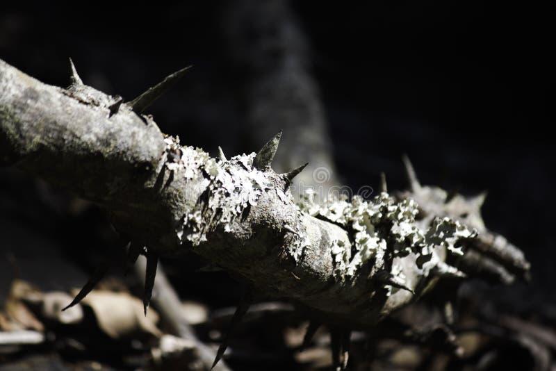 Большие терний & лишайник покрыли лозу в лесе стоковые фото