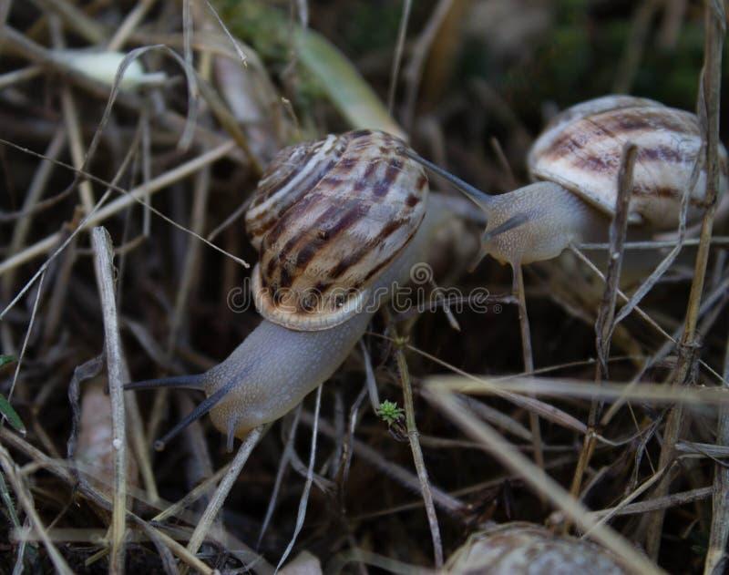 Большие улитки вползают на сухой траве после дождя лета стоковое изображение rf