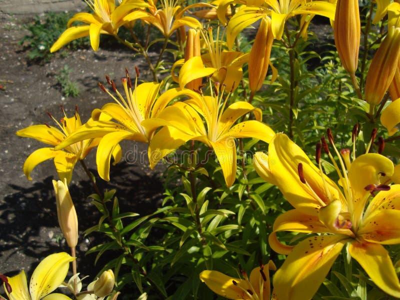 Большие цветки лилии в солнечном свете стоковые фотографии rf