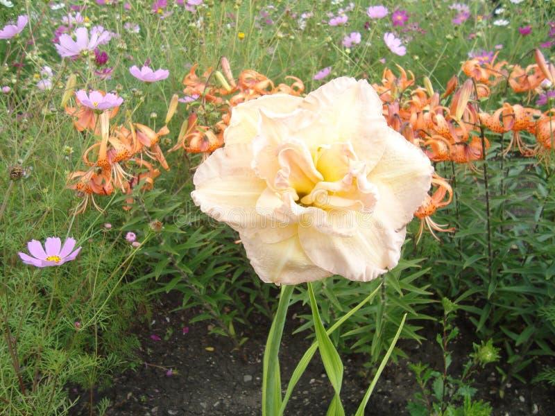 Большие цветки лилии в солнечном свете стоковое фото