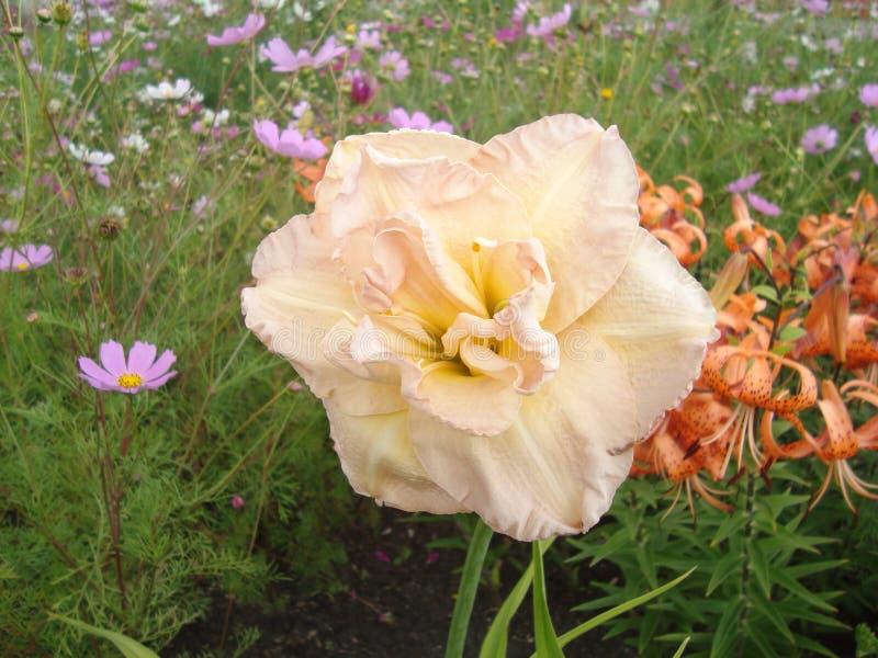 Большие цветки лилии в солнечном свете стоковое изображение rf