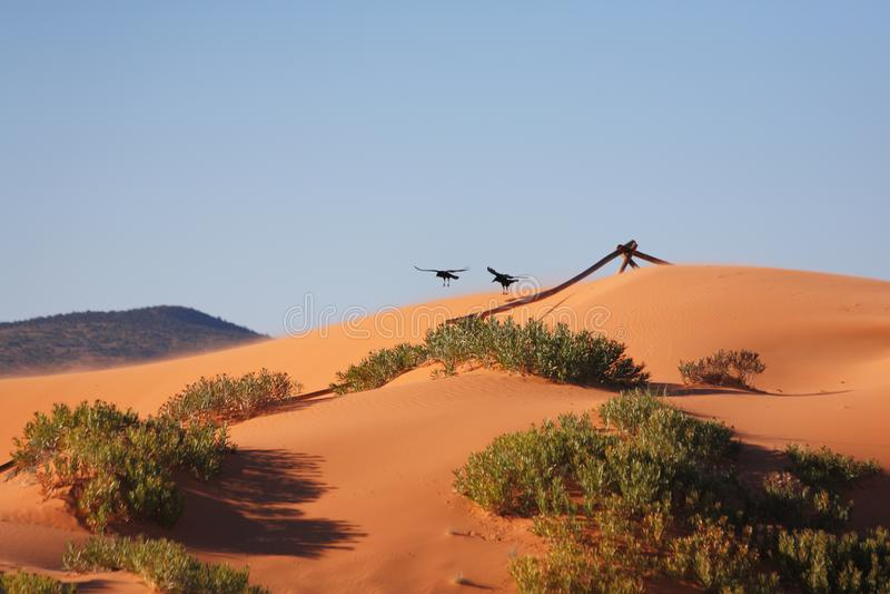 Большие черные птицы летают над дюнами стоковое изображение