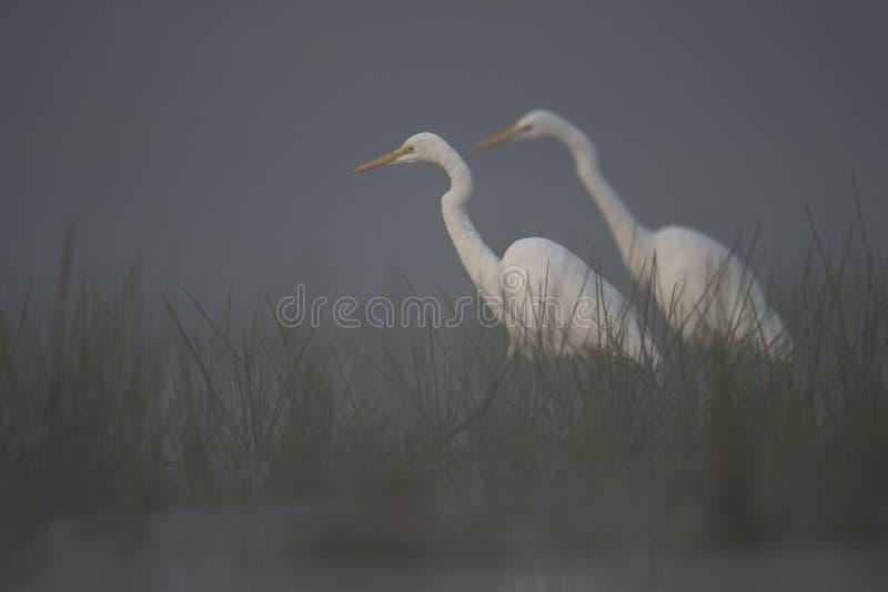 Большие egrets ища рыбы стоковые фото