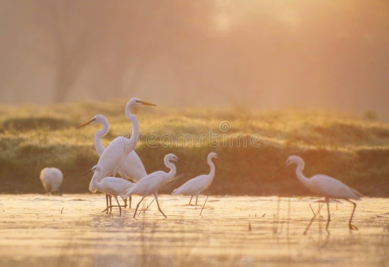 Большие Egrets удя на восходе солнца стоковое изображение rf