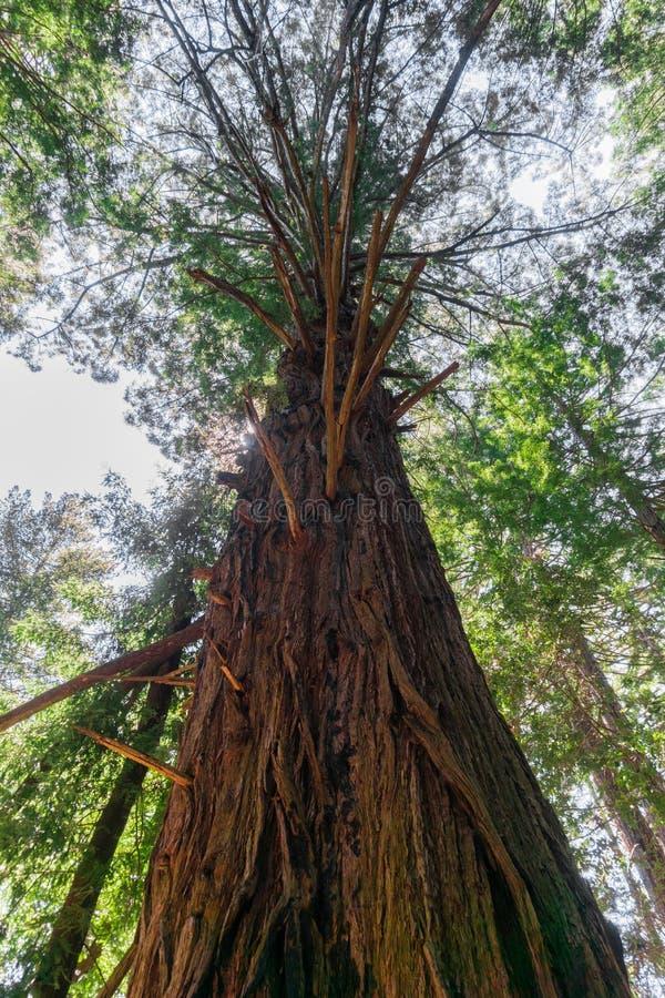 Большие sempervirens секвойи дерева Redwood старого роста, Калифорния стоковая фотография rf