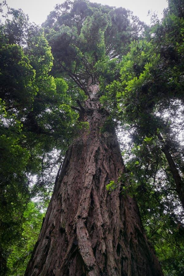 Большие sempervirens секвойи дерева Redwood стоковая фотография