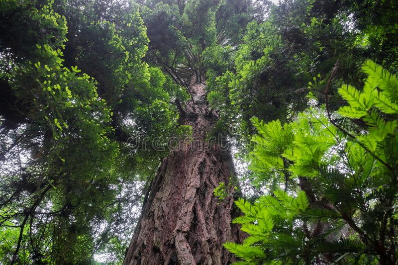 Большие sempervirens секвойи дерева Redwood стоковое изображение rf