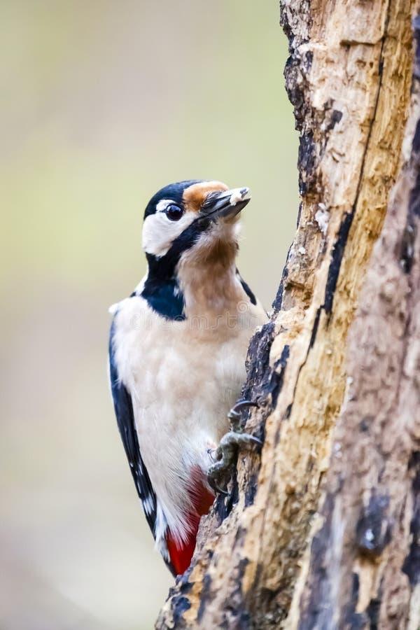 Больший запятнанный майор Woodpecker/Dendrocopos на дереве стоковые изображения